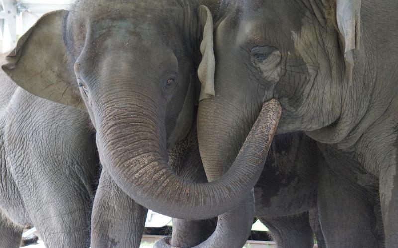These Asian elephants, named Kelly Ann and Mable, are currently located at the Center for Elephant Conservation in Polk City, Fla. They will be relocated to the new refuge at White Oak Conservation in Yulee. Stephanie Rutan/White Oak Conservation